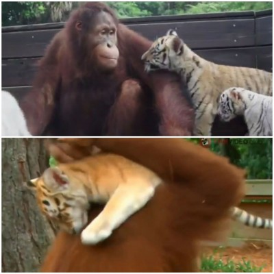 ORANGUTAN ADOPTS THREE TIGER BABIES